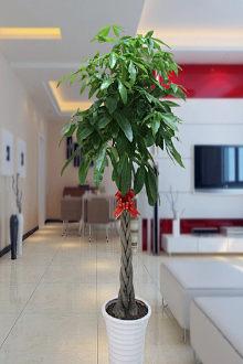 Bồn cảnh cỡ lớn trồng cây dạng xoắn phát tài phát lộc, đặt trong phòng khách, phòng làm việc